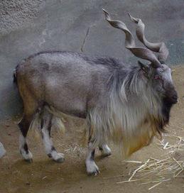 Markhor - National Animal Of Pakistan ~ Stories 2 Day | Pasaris World | Scoop.it