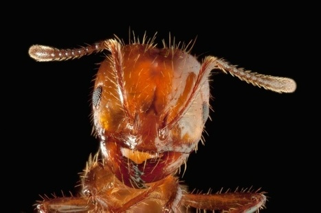 Quand la fourmi est plus grande que ce qu'elle est | Biomimétisme - Biomimicry | Scoop.it