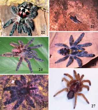 9 New Tarantula Species Discovered in Brazil | WWWBiology | Scoop.it