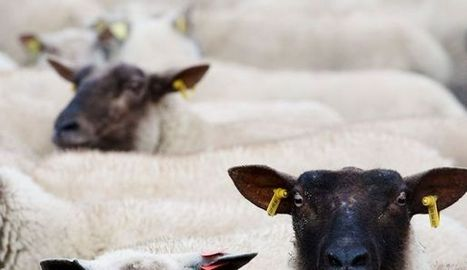 Les agneaux de pré salé, enfants du marais - L'Express | Gastronomie Française 2.0 | Scoop.it