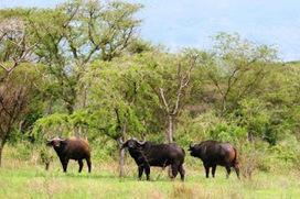 Un député allemand s'oppose à l'exploitation du pétrole dans le parc national des  Virunga | Virunga - WWF | Scoop.it