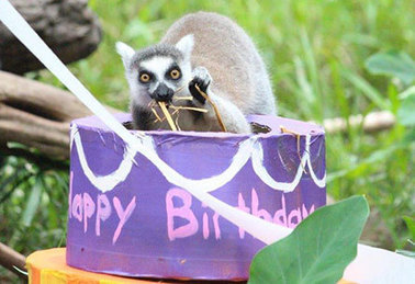 HelloPoodle, birthdaycakesforanimals: 'This past weekend, 2... | Ring Tailed Lemurs | Scoop.it
