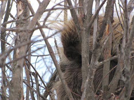 Nature Spotlight: Common Porcupine | GarryRogers NatCon News | Scoop.it