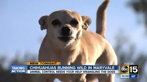 Arizona Town Overrun By Packs of Wild Roving Chihuahuas | enjoy yourself | Scoop.it