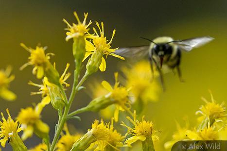 A Gallery of Pollinators / Une galerie de pollinisateurs | Insect Archive | Scoop.it