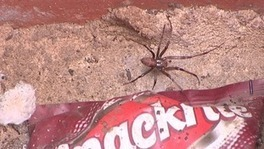 Video: JIC mention: Some of Britain's largest spiders found in Norwich | BIOSCIENCE NEWS | Scoop.it