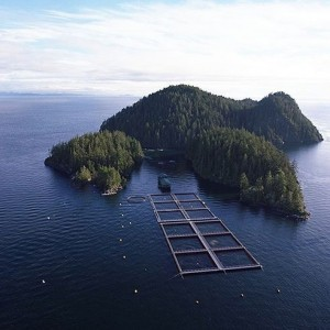 Salmon farm math: fun with numbers | Aquaculture | Scoop.it