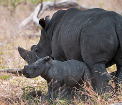 Botswana Rhino Relocation and Reintroduction Project » Wilderness Trust | Environmental Happenings | Scoop.it