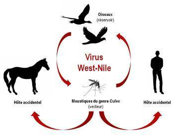 Un cas humain de virus du Nil occidental en France | EntomoNews | Scoop.it