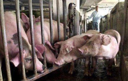 Taïwan veut encourager les éleveurs à apprendre la propreté à leurs cochons | Mais n'importe quoi ! | Scoop.it