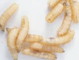 Burn victim identified by DNA in digestive system of maggots feeding on victim's body | Biology | Scoop.it
