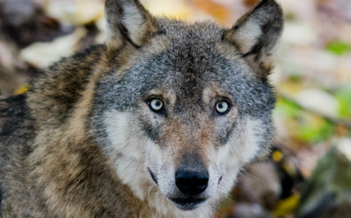 Berlin to teach Germans how to dance with wolves   Oceans and Wildlife   Scoop.it