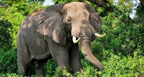 Without a ban on trade in old ivory, elephant killing continues | Conservation | Scoop.it