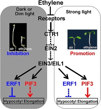 Current Biology - A Molecular Framework of Light-Controlled Phytohormone Action in Arabidopsis | Plant genetics | Scoop.it