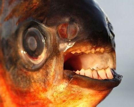 WARNING: Testicle-biting fish invading Denmark, authorities warn | Meanwhile up North | Scoop.it