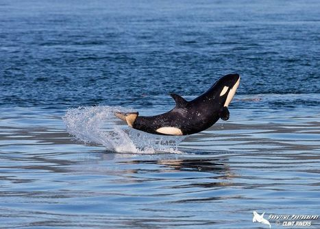 Baby orca learns how to breach and can't stop leaping for joy | Nature Animals humankind | Scoop.it
