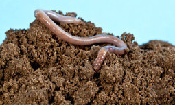 Earthworms Detoxify Pesticides From Soil at Significant Cost | EcoWatch | Scoop.it