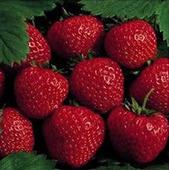 Plant delicious backyard strawberries | Gardening Life | Scoop.it