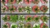 Land-mine detecting Plants created | Creative Feeds | Scoop.it
