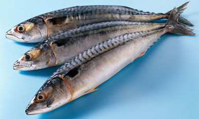 Mackerel overfishing: greed is the problem | Hugh Fearnley ... | SOSE GBR | Scoop.it