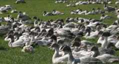 La grippe aviaire dans le sud-ouest : questions sur les virus | Toxique, soyons vigilant ! | Scoop.it