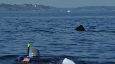 Finistère. Le requin-pèlerin rôde dans l'archipel des Glénan | Requins | Scoop.it