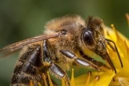 Miel : des vertus insoupçonnées ! - Néoplanète | Le monde des abeilles | Scoop.it