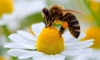 Protecting endangered bees: news and resources round up | Wildlife and Environmental Conservation | Scoop.it