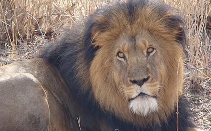 Success! Lion Is Off the Menu At Kansas Restaurant | Life on Earth | Scoop.it