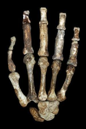 Handier than Homo habilis? Versatile hand of Australopithecus sediba makes a better candidate for an early tool-making hominin | Histoire - Antiquité | Scoop.it