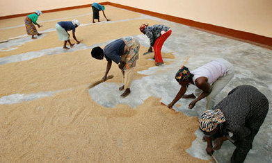 GM crops: campaigners in Ghana accuse US of pushing modified food | Society Violence Justice + | Scoop.it