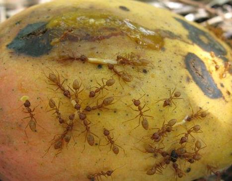 Comment les producteurs de mangues pourraient-ils se passer des fourmis tisserandes ! | EntomoNews | Scoop.it