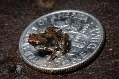 Le plus petit vertébré de la planète est une grenouille de 7,7 millimètres | Mais n'importe quoi ! | Scoop.it
