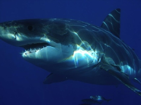 Mysterious Underwater Beast Eats 9-Foot-Long Great White Shark | Science is our friend | Scoop.it
