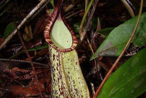 Carnivorous plants communicate with bats | Plant Pathology | Scoop.it