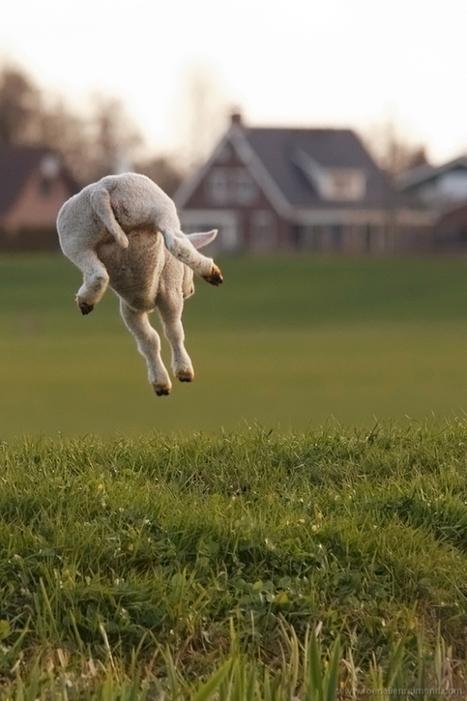 72. Levitating Lambs | veille Lycée La touche Agriculture et Santé | Scoop.it