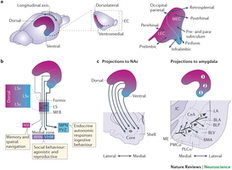Functional organization of the hippocampal longitudinal axis : Nature Reviews Neuroscience : Nature Publishing Group | nicolaslevy.net | Scoop.it
