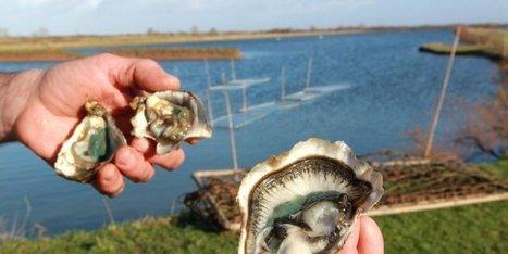 Médoc : l'estuaire de la Gironde retrouve l'huître - Sud Ouest | Estuaire de la Gironde | Scoop.it