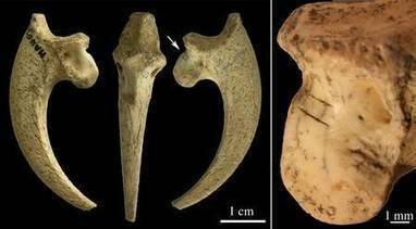 L'Homme de Néandertal, il y a 100.000 ans, aimait-il les rapaces ? | Aux origines | Scoop.it