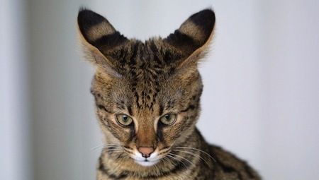 Frankenkitties: House cats bred with wild animals sell for $35,000 | Pet News | Scoop.it