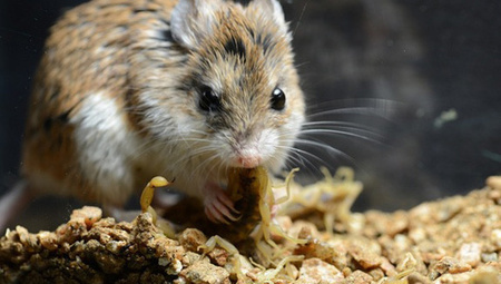 Scorpion-eating mice feel no pain | The living world | Scoop.it