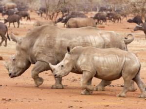 Legalising rhino horn trade in focus | IOL.co.za | What's Happening to Africa's Rhino? | Scoop.it