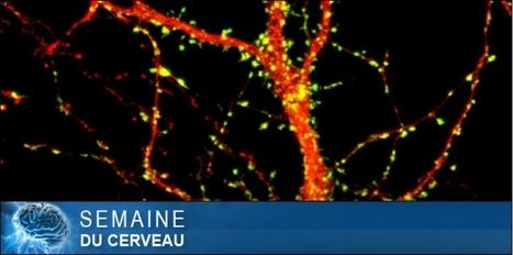 Les neurones miroirs, vous connaissez ? | Veille scientifique Neuroscience | Scoop.it