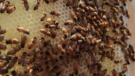 Learn Good Management From Bees and Golfers   Social Foraging   Scoop.it