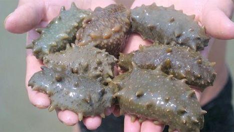 Le concombre de mer tue 95% des cellules cancéreuses, réduit les tumeurs, et bien plus encore! | Carnets de plongée | Scoop.it