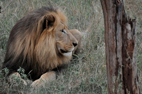 One global protest march for Lions, 55 cities around the world   Trophy Hunting   Scoop.it