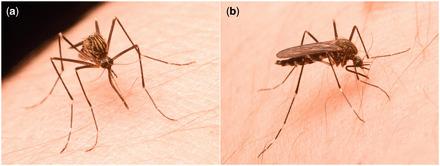 Pour la première fois, l'espèce de moustique porteur du virus du Nil a été découverte dans l'Ouest canadien | EntomoNews | Scoop.it