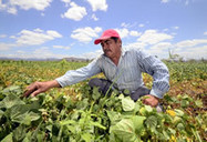 New Agriculturist: News brief - Tortillas on the roaster - climate change threatens maize and beans | The Agrobiodiversity Grapevine | Scoop.it