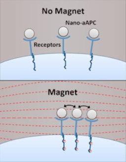Magnetic Medicine: Nanoparticles target cancer-fighting immune cells | Bio Sciences | Scoop.it