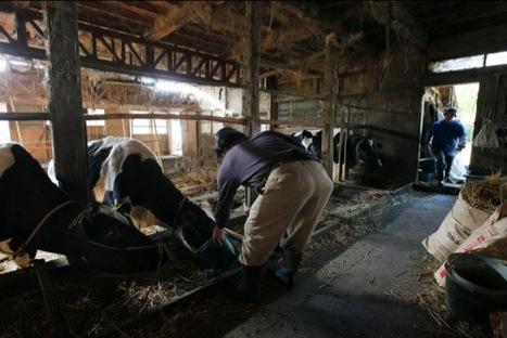 [Eng] Le dernier jour d'une famille éleveur de bétail à Iitate | Japan Nuclear Crisis | Japon : séisme, tsunami & conséquences | Scoop.it